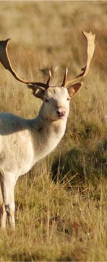 RhCol Deer