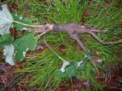 Burdock Root (1)