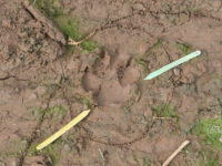 A Double Question Who And Which Foot For The Hyena Track