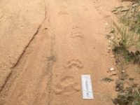 How Was This Animal Moving? The Classic Overstep Walk Of A Big Male Leopard I Followed In Africa